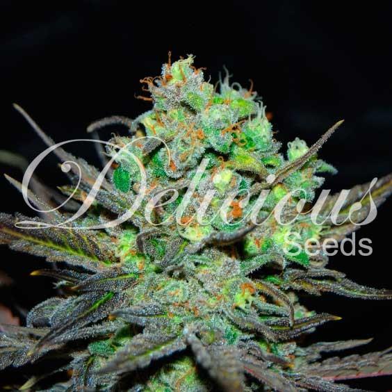 ELEVEN ROSES - Feminized - Seeds