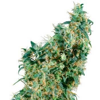 FIRST LADY REGULAR - Sensi Seeds