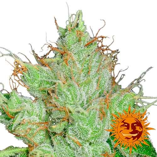 G13 HAZE REGULAR - 10 seeds - Barney's Farm