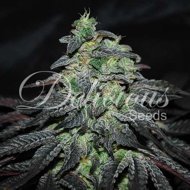 Golosa - Feminized - Seeds