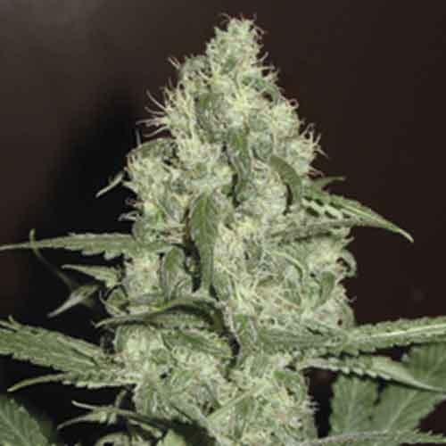 Homegrown Cheese -  5seeds - Fantaseeds