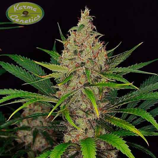 Road Dawg - 6 seeds - Karma Genetics