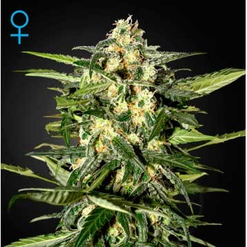 Jack Herer Auto - Green House