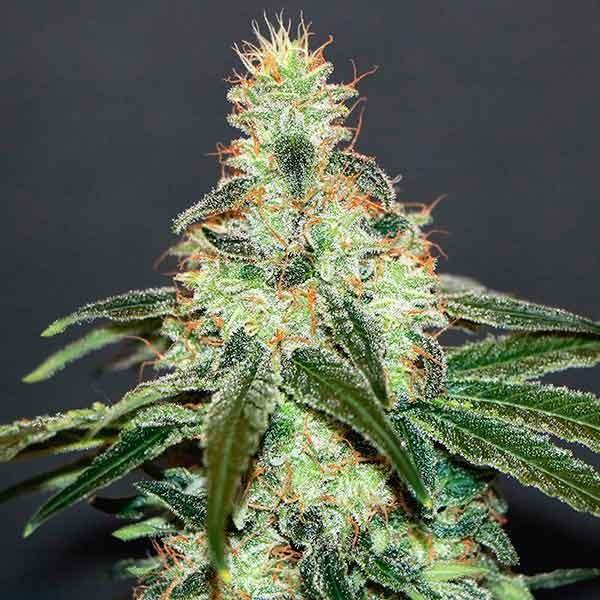 Mataro Blue CBD - Kannabia