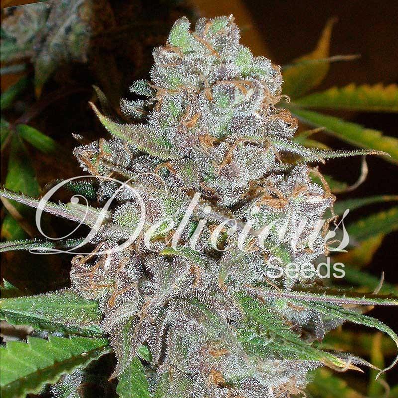 La diva - Autoflowering - Seeds