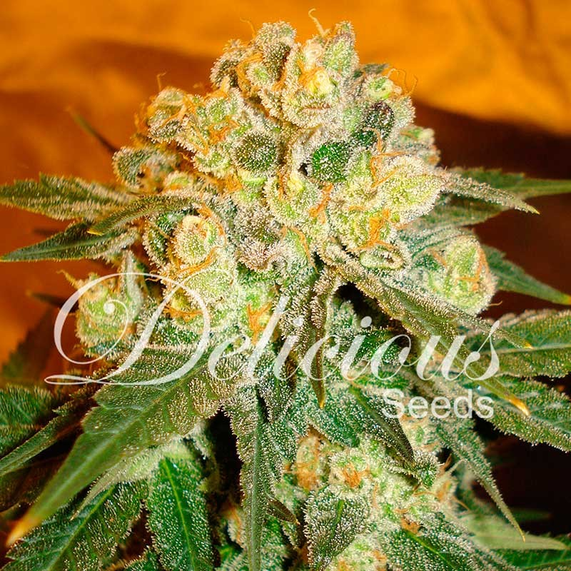 Marmalate - Feminized - Seeds