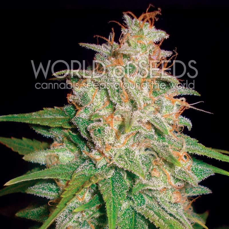 Mazar x White Rhino - World of Seeds
