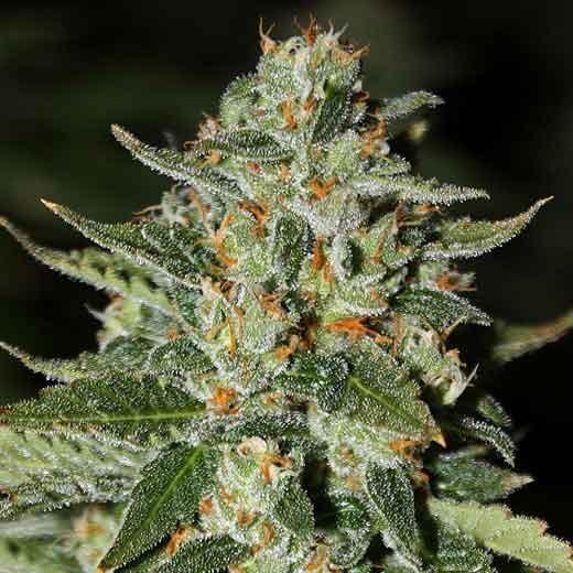 Midas - 12 seeds - Rare Dankness