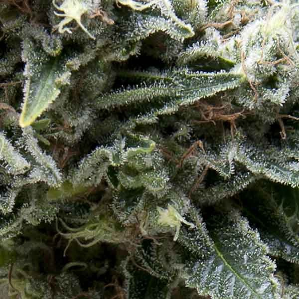 Auto New York City CBD - Pyramid Seeds