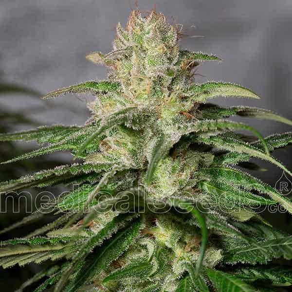 OG Kush CBD - Medical Seeds
