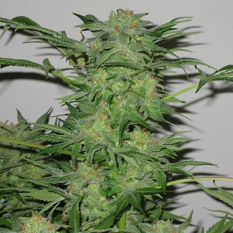 Orange Sorbet - 6 Seeds - Karma Genetics