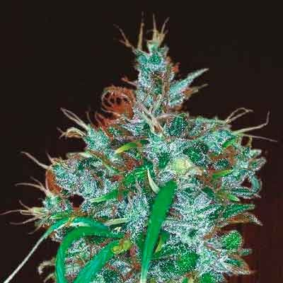 Panama Haze  - Ace Seeds