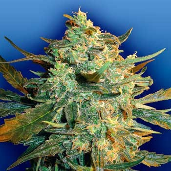Power Skunk - 5 seeds - Flying Dutchmen