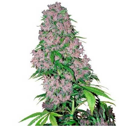Purple Bud Fem - White Label