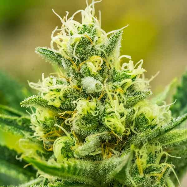 Queen of Soul - 12 seeds - Brothers Grimm Seeds