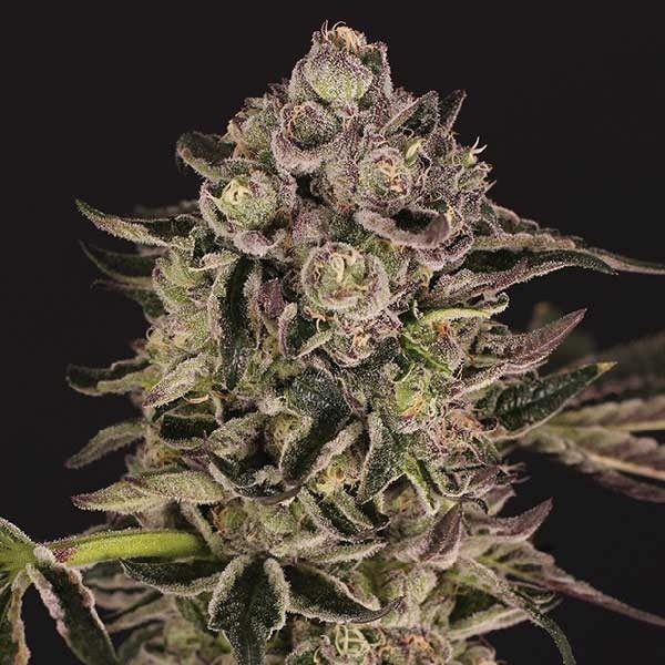 QUICK SHERBET - Exotic Seed