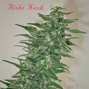 RISHI KUSH - REGULAR - 10 SEEDS - Mandala Seeds