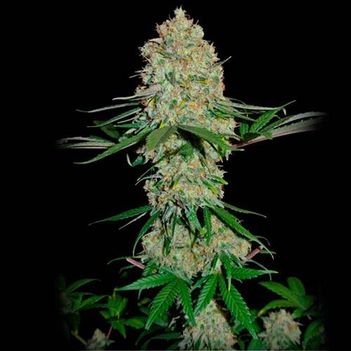 Silver Buddha Haze - 3 seeds - Sumo Seeds