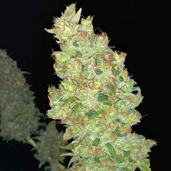 Strawberry AKeil - 6 seeds - Serious Seeds