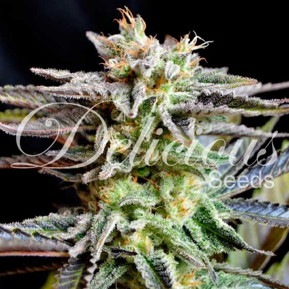 Sugar Black Rose - Feminized - Seeds