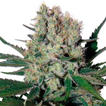 Syrup Regular - Buddha Seeds