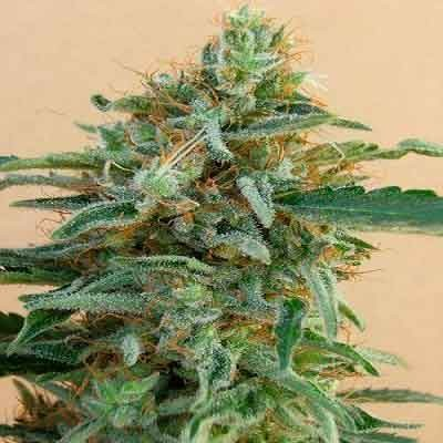 Tikal Regular - 5 seeds - Ace Seeds