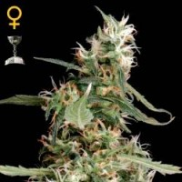 Purchase ARJAN´S ULTRA HAZE #1