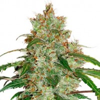Purchase CBD Auto White Widow