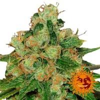 Purchase CBD CARAMEL REGULAR - 10 seeds
