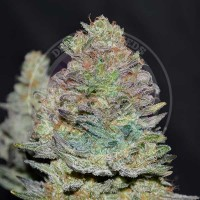 Purchase Delicious Cookies Auto