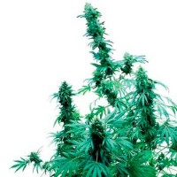 Purchase EARLY SKUNK REGULAR