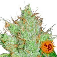 Purchase G13 HAZE REGULAR - 10 seeds