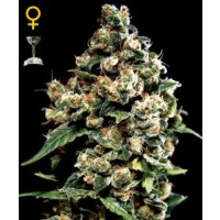 Purchase JACK HERER