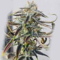 Purchase  Jenny Kush  - 12 seeds