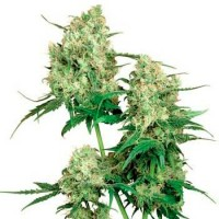 Purchase MAPLE LEAF INDICA REGULAR