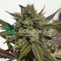 Purchase Northern Light x Skunk