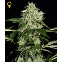 Purchase Northern Lights Auto