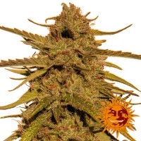 Purchase PINEAPPLE HAZE REGULAR - 10 seeds