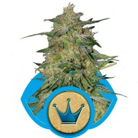Purchase Royal Highness