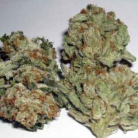 Purchase  Rug Burn OG - 12 Seeds