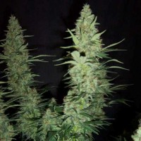Purchase HAWAII MAUI WAUI FEM 5 SEEDS