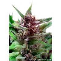 Purchase SHAMAN - 5 SEEDS REG