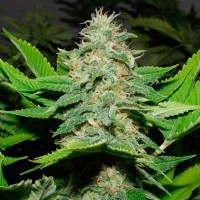 Purchase  Walker Kush - 12 Seeds