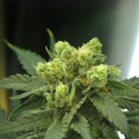 Purchase WONDER WOMAN FEM 5 SEEDS