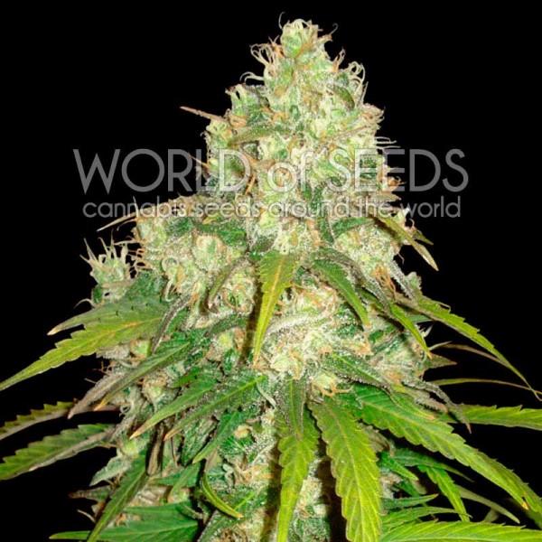 Afghan Kush x Yumbolt - World of Seeds