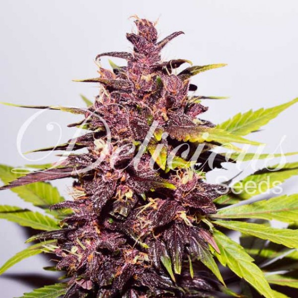 AUTO DARK PURPLE - Graines - Autofleurrissante