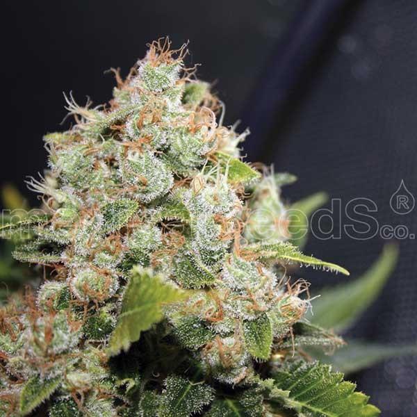 BCN SOUR DIESEL - Medical Seeds