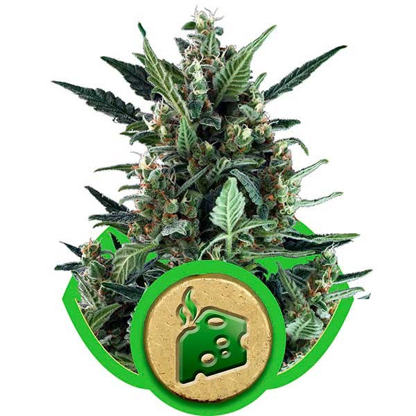Blue Cheese Automatic - Royal Queen