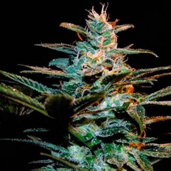 Ice Cool - Sweet Seeds