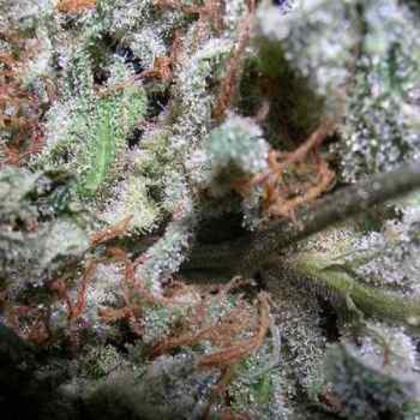 Indica Champions Pack - Paradise Seeds
